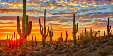 Saguaro Cactus at sunset in the Sonoran desert