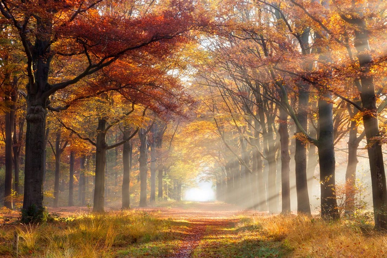 A path between two rows of trees in fall foliage with sunbeams coming in from the right.