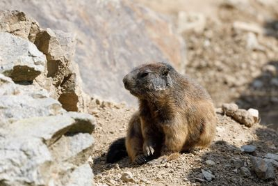 We specialize in woodchuck removal and control in Westchester County, Putnam County and Dutchess NY