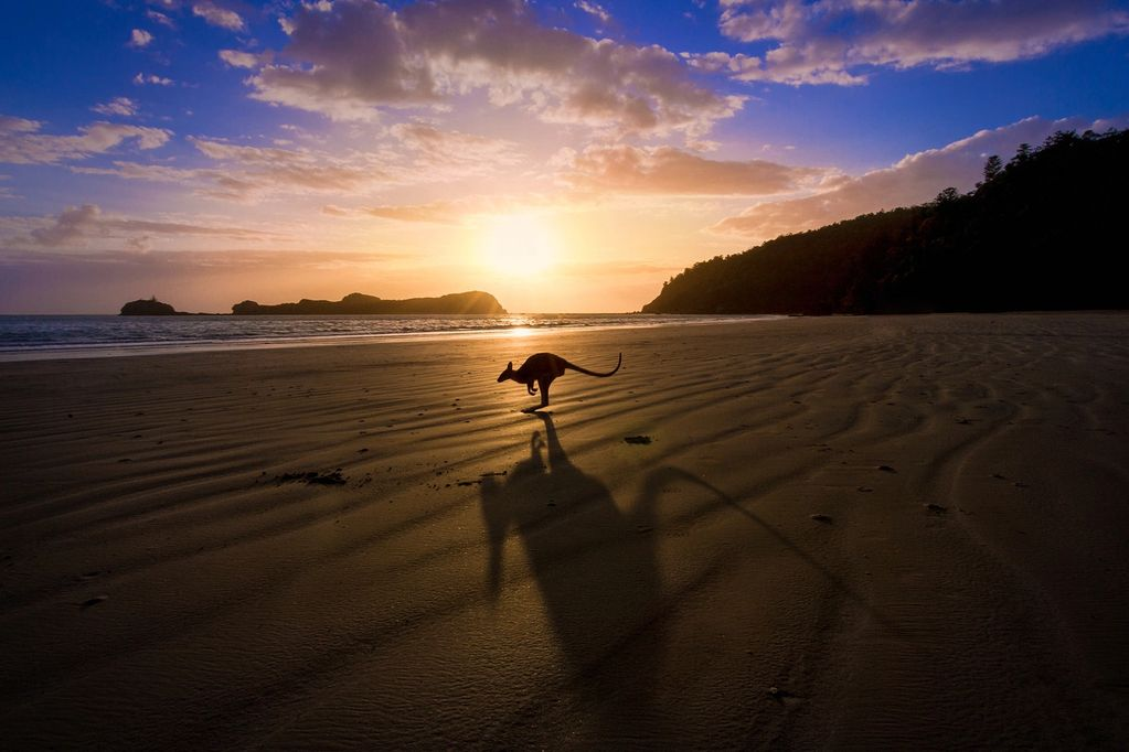 Kangaroo hopping along beach sand at sunset